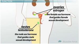 Ovarium dan Testis