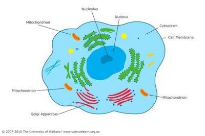 Letak Mitokondria