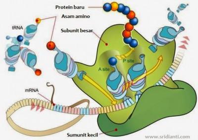 Struktur Fungsi Ribosom