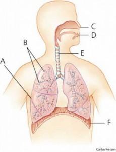 Organ-Sistem-Pernapasan-383x500-306x400