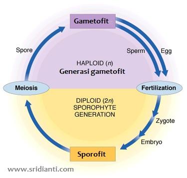 Perbedaan antara sporofit dan Gametofit