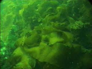alga-hijau