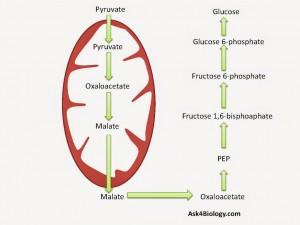 Glukoneogenesis