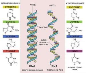 Perbandingan-DNA-dan-RNA