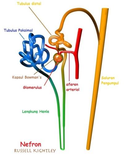 Pengertian Nefron