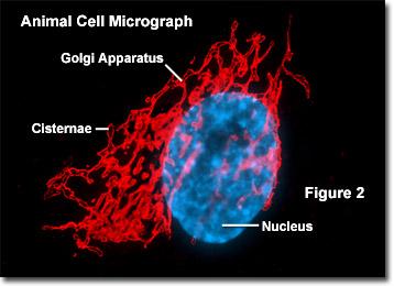 mikrograf sel hewan