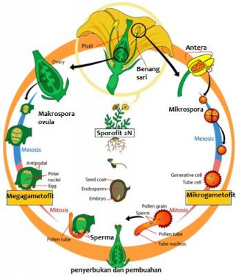 Siklus Hidup Angiospermae