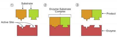 enzim-substrat