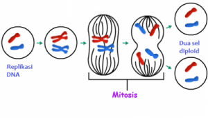 fase mitosis