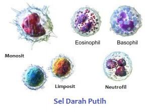 sel-darah-putih