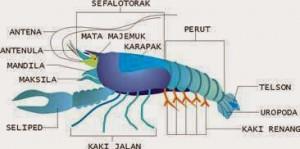 struktur tubuh Crustacea