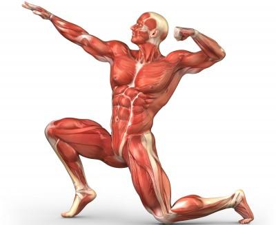 Apakah fungsi Sistem Muskular