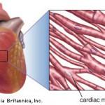 Apakah fungsi otot jantung
