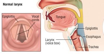 Apakah fungsi pita suara pada manusia