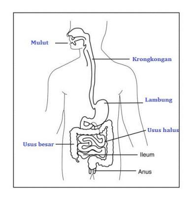 Alat Pencernaan Manusia Beserta Fungsinya Biologi Usaha321 Net