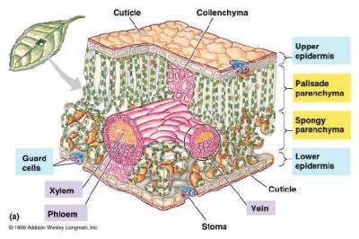 Struktur Jaringan Penyusun Daun Dan Fungsinya Biologi Usaha321 Net