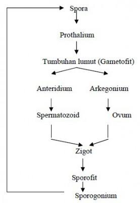Gambar pergiliran keturunan pada tumbuhan lumut