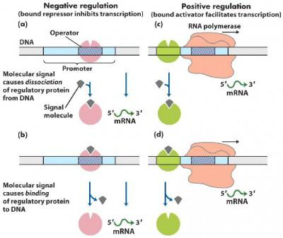 Perbedaan transkripsi Eukariotik dan Prokariotik