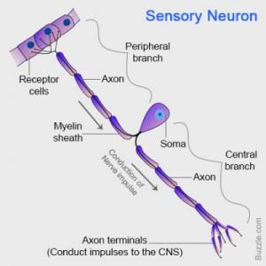 Struktur dan Fungsi Neuron sensorik 3