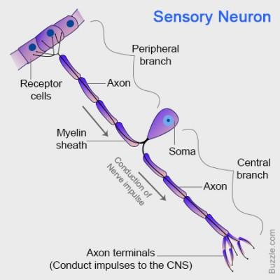 Struktur Neuron sensorik