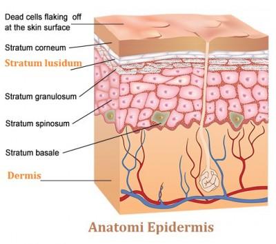 anatomi Epidermis