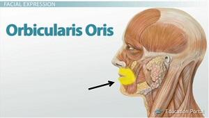 orbikularis oris