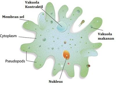 Amoeba-protozoa