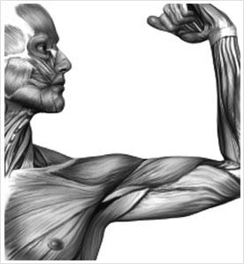 Peran otot pada tubuh manusia