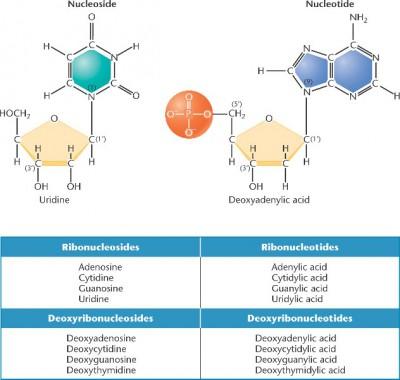 Perbedaan Antara nukleotida dan nukleosida