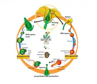 daur hidup Angiospermae