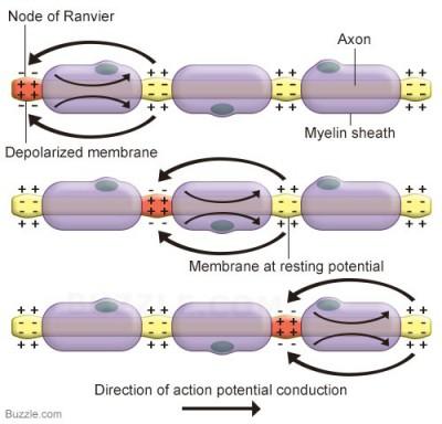 fungsi mielin