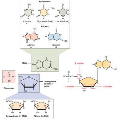 Struktur Dan Fungsi Asam Nukleat Biologi Usaha321 Net