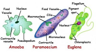 Organisme uniseluler