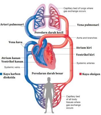 skema peredaran darah besar dan kecil pada manusia