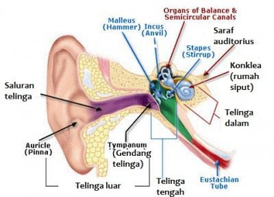 Fungsi Bagian-bagian Telinga Manusia