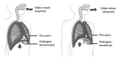 Proses Pernapasan Dada Dan Perut Biologi Usaha321 Net