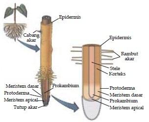 jaringan pada akar