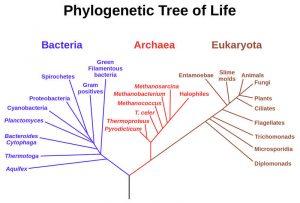 pohon pilogeni