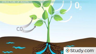 Perbedaan akar dan batang