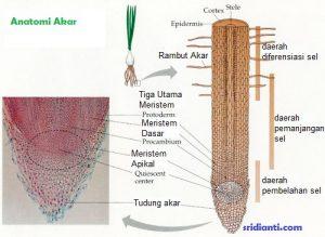 bagian-bagian akar tumbuhan
