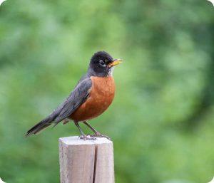 burung robin