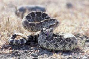 reptil gurun