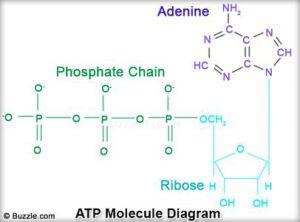 Adenosin trifosfat