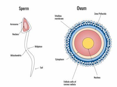 sperma dan ovum