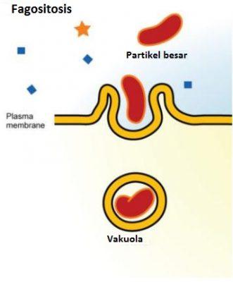 Fagositosis. Ilustrasi ini menunjukkan membran plasma membentuk kantung di sekitar partikel dalam cairan ekstraseluler. Membran selanjutnya menelan partikel, yang terperangkap dalam vakuola.