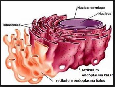 Perbedaan antara Retikulum endoplasma halus dan kasar