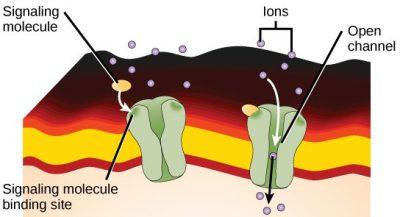 protein saluran gated