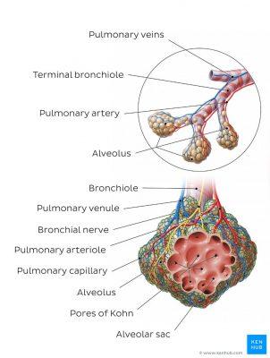 pengertian alveoli