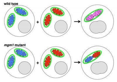 fusi mitokondria