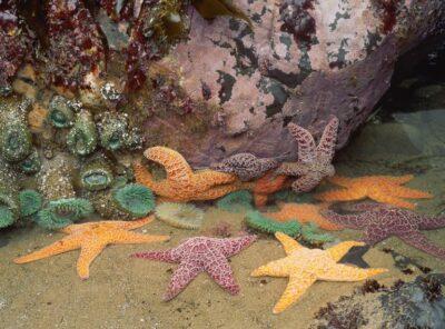 Klasifikasi Bintang Laut